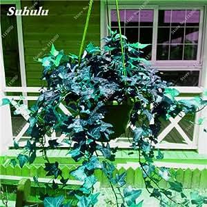 Rara semilla de flor colorida planta trepadora de hoja perenne de la rota al aire libre Fácil Grow Bonsai Cesta colgante planta más populares 50 PC 12