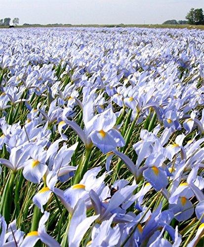 20 Sky Wings Dutch Iris
