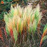 Cheap 500pcs / bag colorful Pampas Grass Cortaderia Seeds Are Very Beautiful Garden Plants Decorative DIY