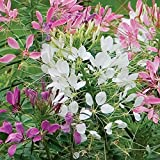 Burpee Queen Mixed Colors Cleome Seeds 200 seeds