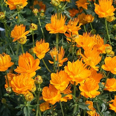 NEW! 40+ TROLLIUS GOLDEN QUEEN GLOBE FLOWER PERENNIAL FLOWER SEEDS / GREAT GIFT