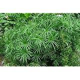 Tropica - piante acquatiche - cicero (Cyperus alternifolius syn. Cyperus involucratus) - 250 semi