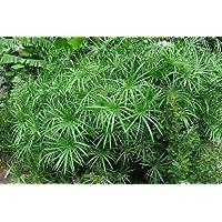 Tropica Lot de 250 graines de papyrus d'appartement (Cyperus alternifolius Cyperus involucratus)