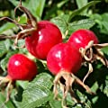 Rose Hip Seeds; Dog Rose Seeds (Rosa canina) 10+ Rare Medicinal Herb Seeds Packed in FROZEN SEED CAPSULES for the Gardener & Rare Seeds Collector - Plant Seeds Now or Save Seeds for Years