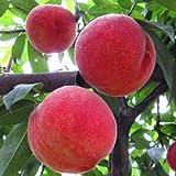 【果园露天桃子现摘现发】平谷鲜桃春雪脆桃4斤装 首批露地桃单果150g左右个头不大但又红又甜
