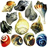 THE OTHER TIDE 12 Medium To Large Hermit Crab Changing Shells - 3/4'' to 3'' shells with 3/4'' to 2'' openings