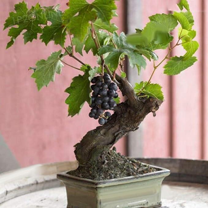 85Pcs Bonsai Dwarf Mini Grape Seeds Delicious Fruit Plant Garden Yard Home Decor