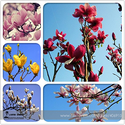 2018 New Arrivals!! Heirloom Chinese Red Yellow Pink White Yulan Magnolia denudata Fragrant lilytree 10 Seeds - (Color E3454XT1)