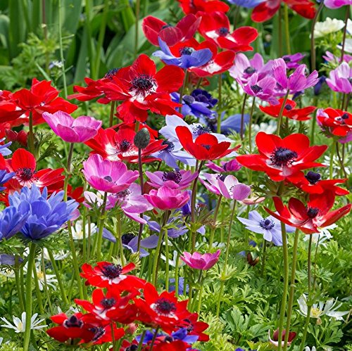 Humphreys Garden Anemone De Caen x 20 Bulbes