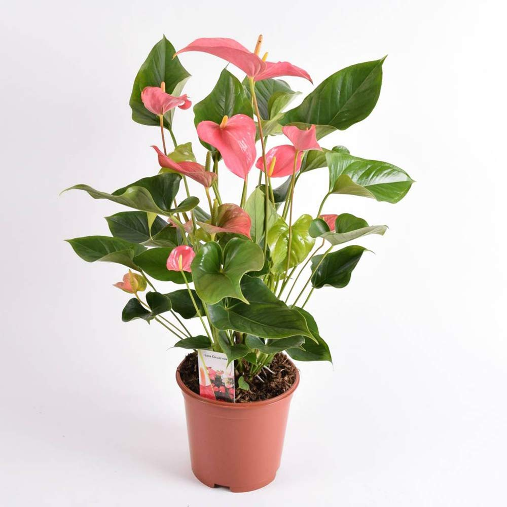 AMERICAN PLANT EXCHANGE Pink Anthurium Flamingo Flower Indoor/Outdoor Air Purifier Live Plant, 6'' 1 Gallon Pot