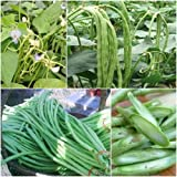 Vigna Unguiculata 50 Seeds Yard Long Beans Vegetable Plant Seeds from Thailand