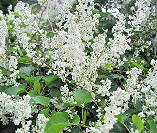 Fallopia baldschuanica Fleece or Silver Lace Vine (Silver Lace Vine)