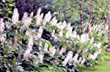 5 SEROTINA BOTTLEBRUSH BUCKEYE SEEDS ( NUTS ) - Aesculus parviflora var. serotin
