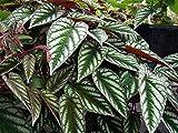 Rex Begonia Vine - Cissus Discolor - Great House Plant - 4'' Pot