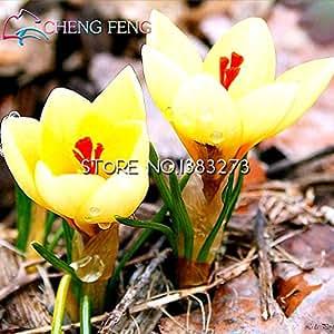 20pcs de la venta caliente púrpura Muchas semillas de variedades de flores de azafrán El azafrán azafrán de azafrán semillas, que no es el azafrán bulbos de la nave libre