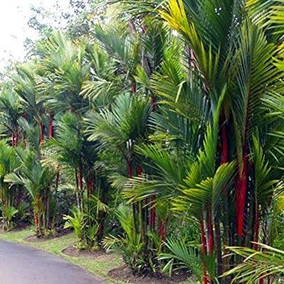 LOadSEcr's Garden 100Pcs Cyrtostachys Palm Tree Seeds Non-GMO Ornamental Plants Yard Office Decoration, Open Pollinated Seeds - Palm Tree Seeds : Garden & Outdoor