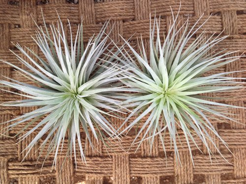 Airplants Tillandsia Stricta Houston Hybrid 2 Pack (Grown and Shipped From California)