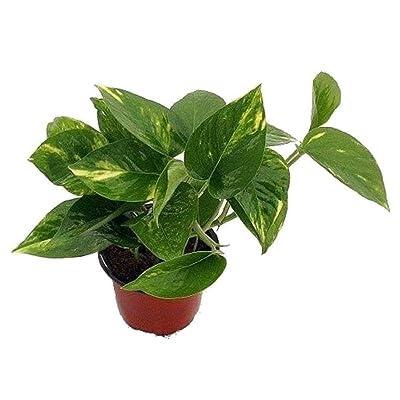 "AchmadAnam - Live Plant Golden Devil's Ivy Pothos Epipremnum 4"" Pot Best Gift Houseplants : Garden & Outdoor"