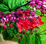"Red Bleeding Heart Vine Plant - Clerodendrum - Indoors/Out - 4"" Pot"