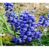 (Blue Lily *Ambizu*) Rare 'Blue Flower Goddess' Lily of the Valley Convallaria Majalis Perennial Flower Seeds, Professional Pack, 50 Seeds