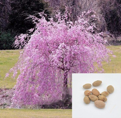Solution Seeds Farm New Rare 20 Seeds Heirloom Pink fountain weeping cherry Seeds Dwarf Tree Seeds Perennial. (It is Seeds) by Solution Seeds Farm