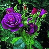 Purple Rose Seeds 10 Heirloom Rose Seeds
