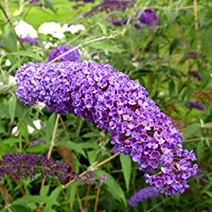 "15+Butterfly Bush Seeds ""Nanho Blue"""