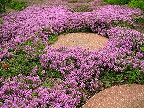 500 Seeds Thymus Serpyllum Creeping Thyme ground cover Pink Purple Chintz