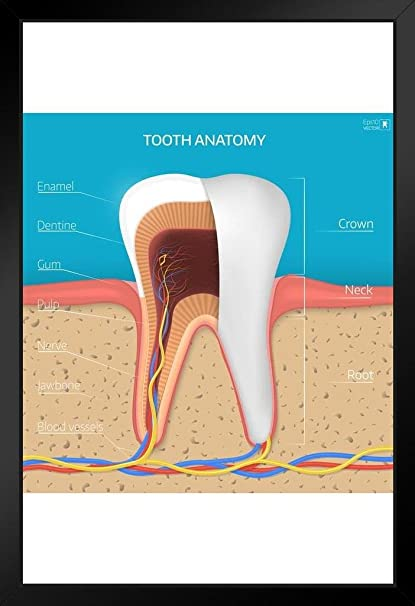 human tooth structure cross section anatomy diagram educational chart  framed poster 14x20 inch