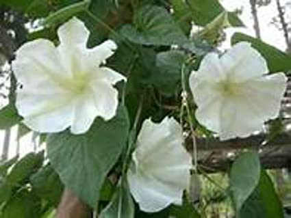 Amazon moonflower vine seeds huge scented white flowers huge scented white flowers mightylinksfo