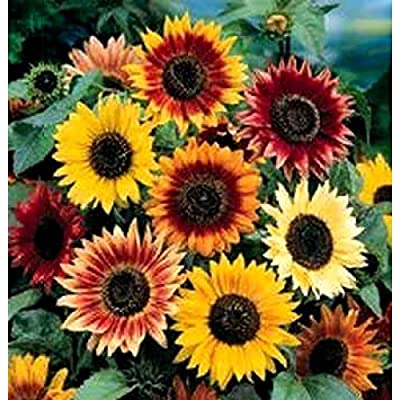 Non GMO Bulk Autumn Beauty Sunflower Seeds- Helianthus annuus (1/4 Lb) : Garden & Outdoor