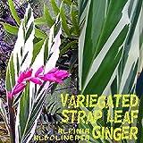 ~VARIEGATED STRAP LEAF GINGER~ Alpinia albolineata vittata sml Starter PLANT