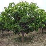 Judas Tree (50 seeds) fresh this season's harvest