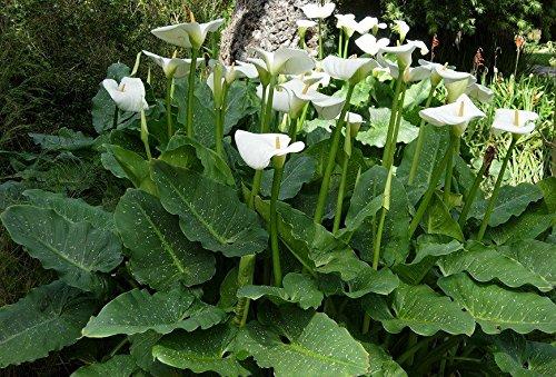 Giant White Calla Lily Zantedeschia Aethiopica Bulb Flower Plant 2 Rhizome by eightplant (Image #1)