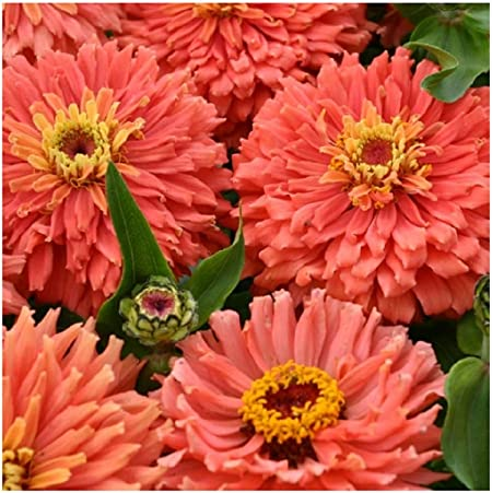 Annual Zinnia Salmon Colored Flower Seeds 50
