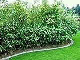 1 Rhizomes of Pseudosasa Japonica Arrow Bamboo