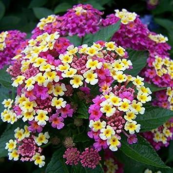 New Arrival100 Pcslot Lantana Camara Flower Seedsrare Perennial
