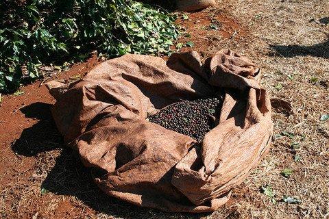 5LBS Brazil Volcano Fazenda Santa Izabel #04 Unroasted Green Coffee Beans
