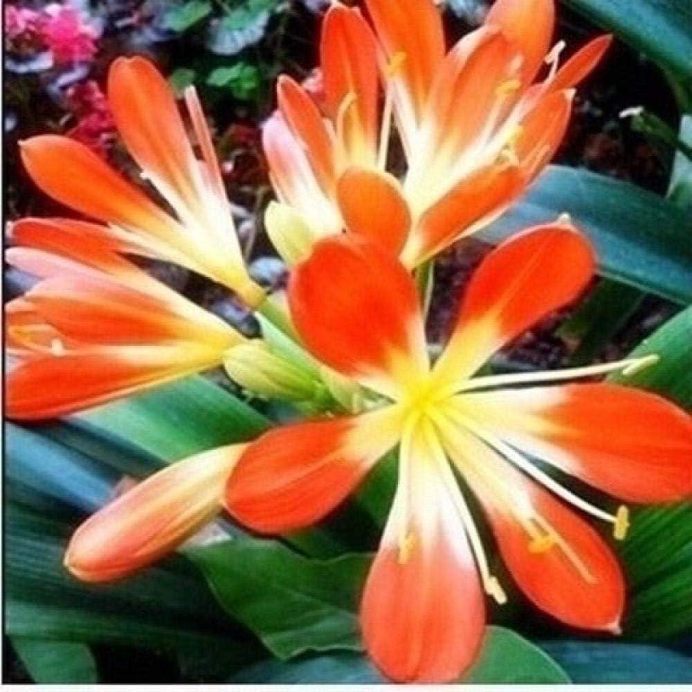 Semillas Ornamentales de Hierba,Clivia Planta en Maceta Semillas de Flores de Interior-2 cápsulas_Borde Rojo,Semillas de Flores perennes