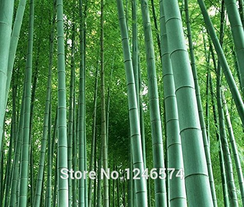 Seeds Shopp - Huge 100 seeds Giant Phyllostachys pubescens moso bamboo seeds hardy -Giant (Hardy Bamboo)