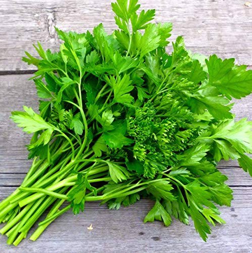 Sweet Yards Seed Co. Organic Parsley 'Italian Giant' Seeds - Over 175 Open Pollinated Non-GMO - Organic Parsley Seed