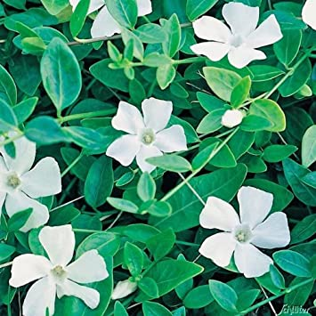 Vinca Minor Alba Weisses Immergrun Alba Bodendecker Mit