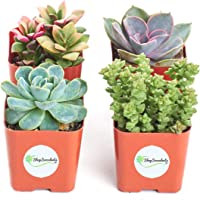 Shop Succulents | Unique Collection of Live Succulent Plants, Hand Selected Variety Pack of Mini Succulents