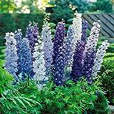 Delphinium Pacific Giants blue - 3 plants