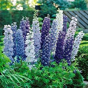 Delphinium Pacific Giants blue - 9 plants