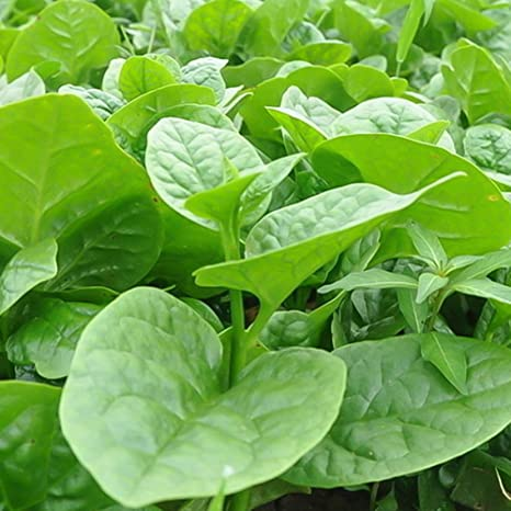 Rare Spinach Matador vegetable  40 seeds UK SELLER