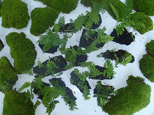 Amazon Com 3 Resurrection Fern Bark Garden Plant Terrarium Dart