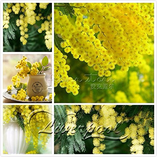 Seeds Market Rare 20 Golden Mimosa seeds, love family and home Garden Tree Flower Seeds evergreen bonsai in bloom all year round-5packs
