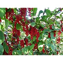Chinese Magnolia, Schisandra chinensis, Vine 60 Seeds (Fast, Edible, Hardy, Showy)