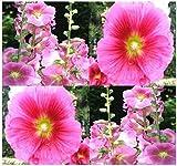Alcea rosea (Hollyhock) Seeds - Attracts both hummingbirds and butterflies!!!!(50 - Seeds)